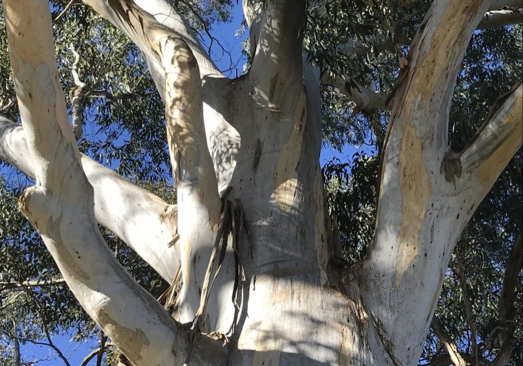 Full size gum tree